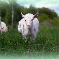 Идёт коза безрогая :: Андрей Заломленков