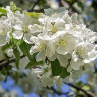 Яблони в цвету.....1 :: Елена Панькина