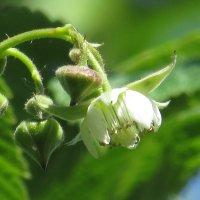 Серия огород. Скромный цветок нескромной ягоды. Малина. :: Вячеслав Медведев