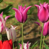 О тюльпанах :: Natali