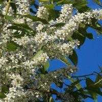 """""""Белый цвет, черёмухи цвет...."""" :: Фотогруппа Весна."""