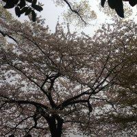 Дерево -невеста :: Лариса Журавлева
