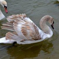 Молодой лебедь :: Ольга Голубева