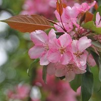 Розовый май.... :: Tatiana Markova