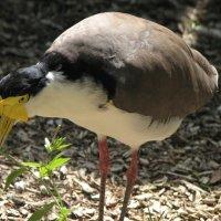 Солда́тский чи́бис[1] (Vanellus miles) :: Антонина