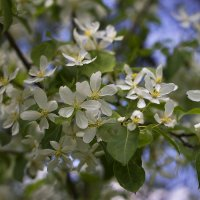 Кругом цветы,как белые туманы... :: Галина Стрельченя