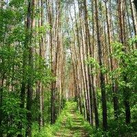 По лесной дорожке по весенней... :: nika555nika Ирина