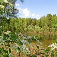 Черёмухи цвет :: Yuriy Kuzmič