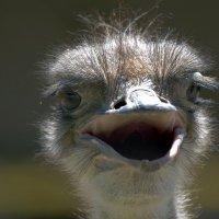 Африканский страус :: Александр Грищенко