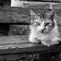 Дворовой кот :: Artem Zelenyuk