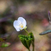Цветет морошка на болоте :: Борис Устюжанин