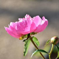 красивый цветок - пион из моего сада :: Iryna K