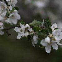 Яблони в цвету - весны творенье.. :: Ирина Малышева