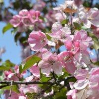 яблоня в цвету :: Михаил Радин