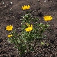 Весенние цветы :: Анатолий Иргл