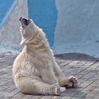 Медвежонок готовится к шоу Голос :: Оксана Арискина