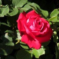 Сезон роз открыт! :: Нина Бутко