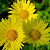 Жёлтые ромашки (дороникум) :: Светлана