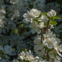 яблони в цвету :: Сергей Цветков
