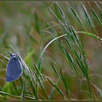 Синяя бабочка на зелёной траве :: Александр