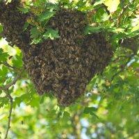 Пчелы роятся :: Олег