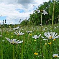 """""""На полянке возле леса расцвели ромашки, Желтым солнышком раскрыв душу на распашку..."""" :: Galina Dzubina"""