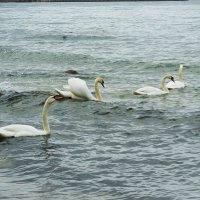 Лебеди на пляже. И в море... :: Маргарита Батырева