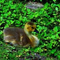 Важная птица. :)  Казарка канадская :: Nina Yudicheva