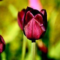 тюльпан :: linnud