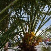 а у нас теперь  и пальмы цветут)....как обычные яблони,груши и вишни...) :: Галина R...