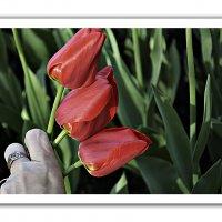 Букет из тюльпанов в виде открытки :: Наталия П