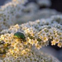 Майский жук. :: Евгений Голубев