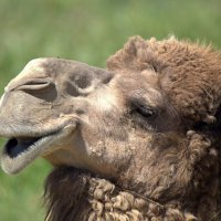 Одногорбый верблюд или дромедар :: Александр Грищенко