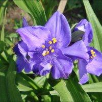 Начало цветения традесканции :: Нина Корешкова