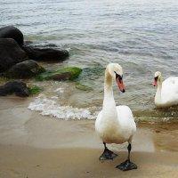 Лебеди на пляже. Идем за угощением... :: Маргарита Батырева