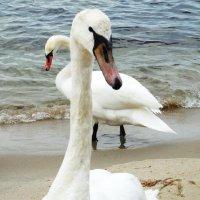 Лебеди на пляже. Я же хороший. :: Маргарита Батырева