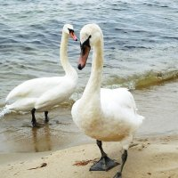 Лебеди на пляже. И всё зря... :: Маргарита Батырева