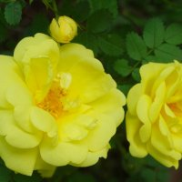 Жёлтые розочки в мае... :: Тамара (st.tamara)