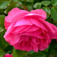 Роза :: Виктор Шандыбин