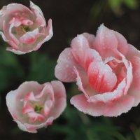 Ах,тюльпаны,вы прекрасны! :: Надежда Ёздемир