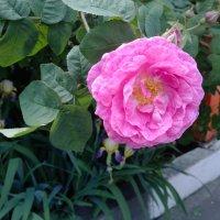 Чайная роза :: Serg