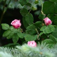 розы :: Любовь Потравных
