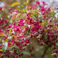 Райская яблоня :: Виктория Камышникова