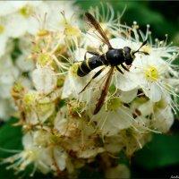 Пчела или??? :: °•●Елена●•° Аникина♀