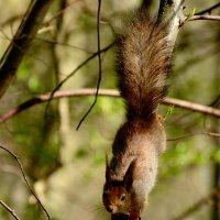 белка в весеннем лесу :: linnud