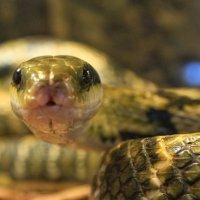 Змея тигровая :: Марина Влади-на