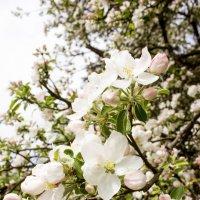 яблоки в цвету :: Евгения Вахнеева