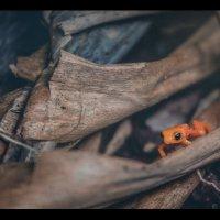 """""""Гиганто..."""".Золотая мантелла ( Mantella aurantiaca) — вид небольших по величине лягушек. :: Александр Вивчарик"""