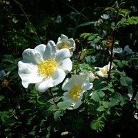 """""""Белый шиповник, дикий шиповник, краше садовых роз..."""" :: Galina Dzubina"""
