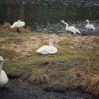 Лебеди :: Марина Влади-на
